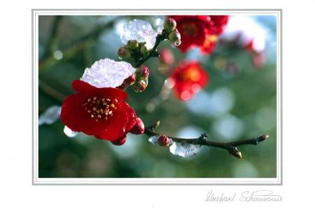 Scheinquittenblüten im Schneerest