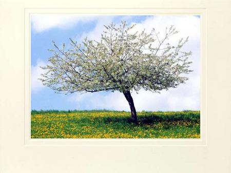 Kirschbaum auf blühender Wiese