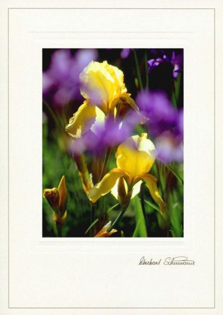 Zwei gelbe Schwertlilien