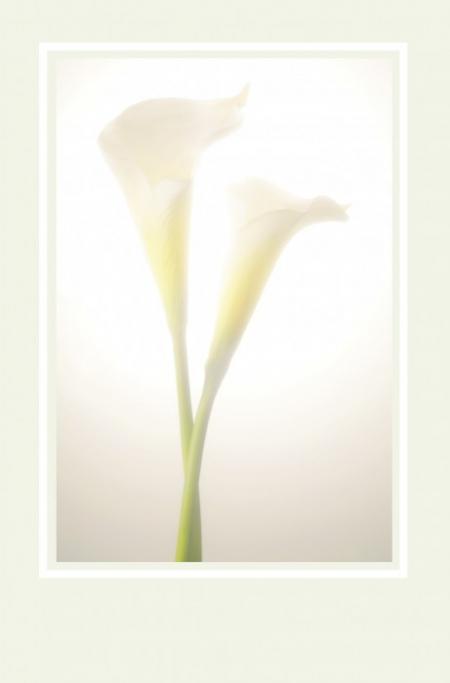 Weiße Callablüten