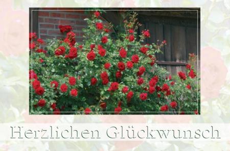 Rote Strauchrosen vor alter Scheune