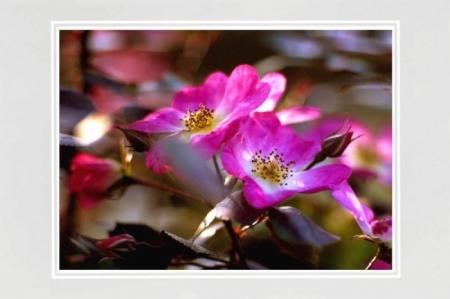 Zwei Wildrosenblüten