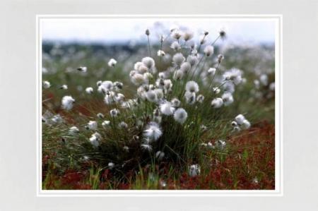 Wollgrasbüschel auf Moorfläche