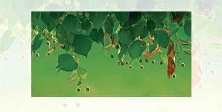 Lindenblätter mit Blütenkapseln