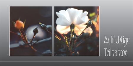 Weiße Rose mit Knospen