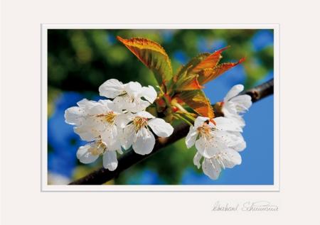 Sauerkirschblüten