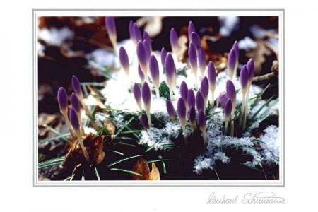 Lila Krokusse im Schnee