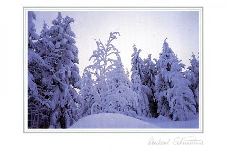 Schneetannen mit Birke