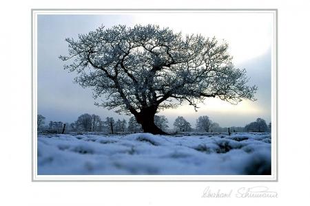 Eichenveteran im winterlichen Gegenlicht