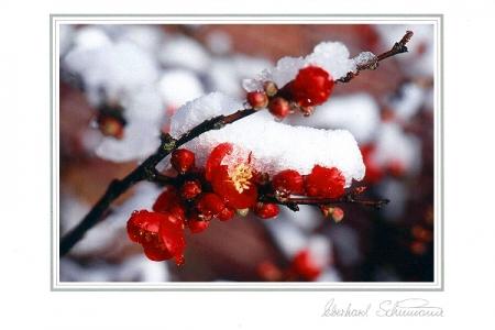 Rote Scheinquittenblüten im Schnee