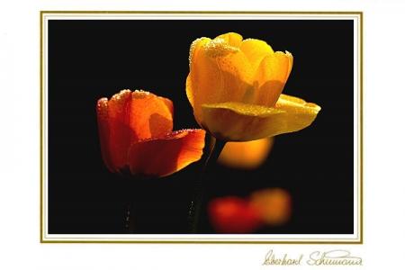 Zwei gelbrote Tulpen im Gegenlicht