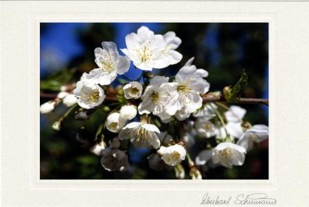 Wildkirschenblüten