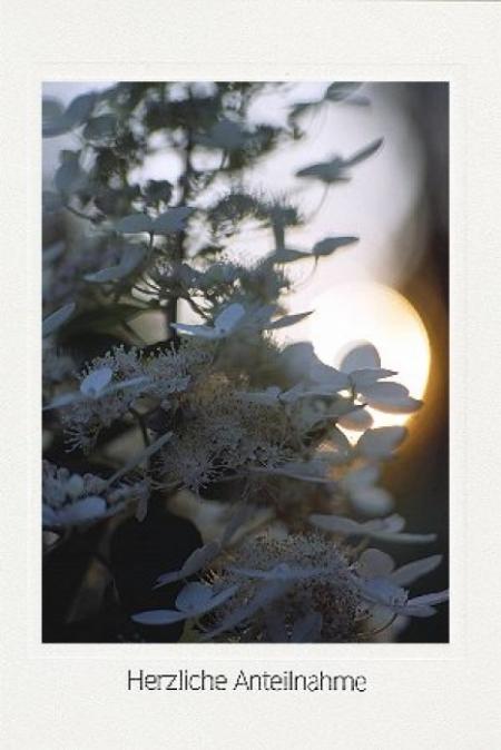 Hortensienblüten im Gegenlicht