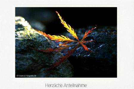 Japanisches Schlitzahornblatt zwischen Steinen